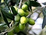 ALBERO DI ULIVO -OLEA EUROPAEA-'ASCOLANA' DA TAVOLA - pianta da frutto da esterno