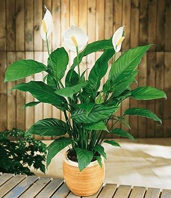 BALDUR-Garten Einblatt (Spathiphyllum),1 Pflanze Friedenslilie von Baldur-Garten - Du und dein Garten