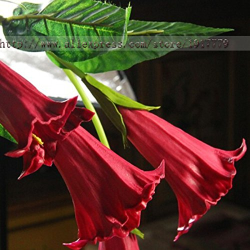 hot-sale-mix-color-datura-flower-seeds-dwarf-brugmansia-suaveolens-flamenco-angels-trumpets-bonsai-s