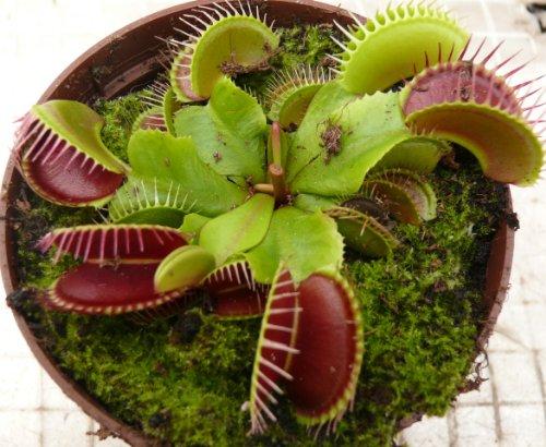 venus-fly-trap-carnivorous-plant-dionaea-muscipula