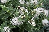 9cm Topf Hebe Albicans Garten, Borten & Container Bodenbedeckung Sträucher weiß Blumen