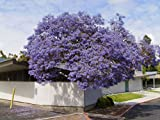 #10: Seedstores :10 Seeds Of Blue Jacaranda Neeli Gulmohur Jacaranda Mimosifolia For Growing