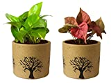 #2: Rolling Nature Combo of Good Luck Air Purifying Live Money Plant and Pink Syngonium Plant in Brown Barrel Aroez Ceramic Pot
