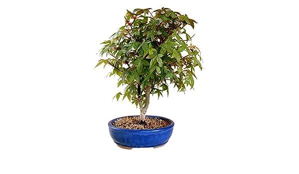 Bonsai japanischer Fächerahorn \