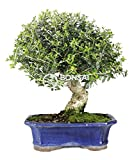 Bonsai - Acebuche, 16 Años (Bonsai Sei - Olea Europaea Sylvestris)