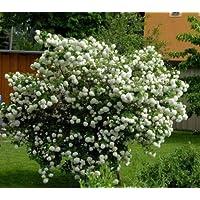 Laurus Nobilis Alloro cespuglio Piante Aromatiche siepe vaso 18 altezza 50//70 cm