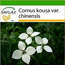 SAFLAX - Asiatischer Blüten - Hartriegel - 30 Samen - Mit Substrat - Cornus kousa var. chinensis