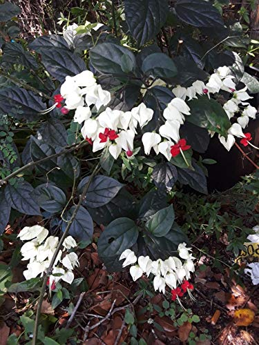PLAT FIRM GERMINATIONSAMEN: Blut HEART'CLERODENDRUM thomsoniae lebender Pflanzenstecklinge (10), 8-Zoll-