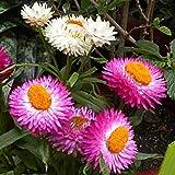 Fiore di paglia Everlasting Mix colorato di semi di rosa di elicriso 30+ biologico facile da coltivare bracteatum, fiori di paglia per casa, cortile e giardino