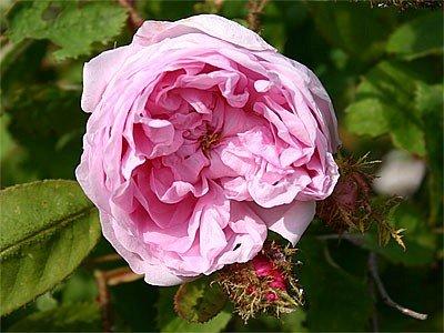 """Moosrose """"Rosa centifolia Muscosa"""" - (wurzelnackte Pflanze)"""