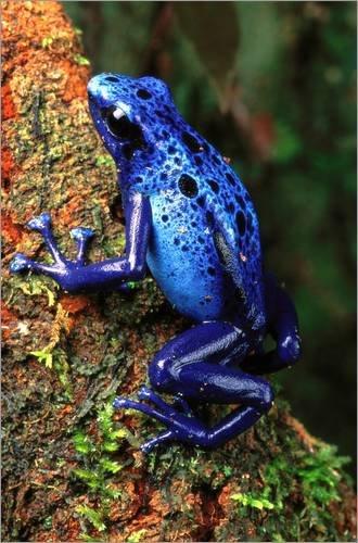 impresion-en-madera-40-x-60-cm-blue-poison-dart-frog-dendrobates-azureus-de-george-grall-national-ge