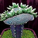Dovlen 1 Bag Super Rare Afrikanischer Samen Kaktus Sukkulente Pflanze Baum...