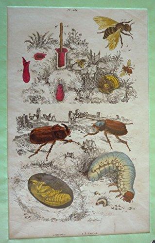 Gravure : Oryctès, Osmies (Dictionnaire pittoresque d'histoire naturelle et des phénomènes de la nature) par Guérin-Menneville Félix Edouard