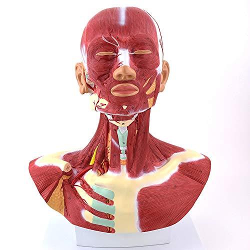LUCKFY Muskel Anatomisches Modell Klassischer menschlicher Kopf und Hals Muskel Anatomie Modell 3B Wissenschaftliches medizinisches Lehrmittel Spielzeug