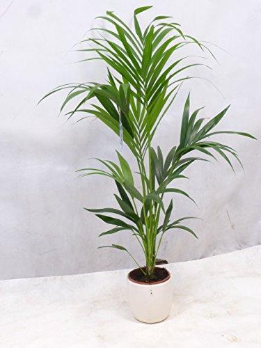 [Palmenlager] - Howea forsteriana - Kentia Palme 120/130 cm - 4 Stämme -//Zimmerpflanze
