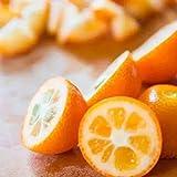 Kumquat Kleine Orange 30 Samen - Orange Bonsai Zierpflanze Essbare Früchte Mini-Bonsai-Baum Balkon