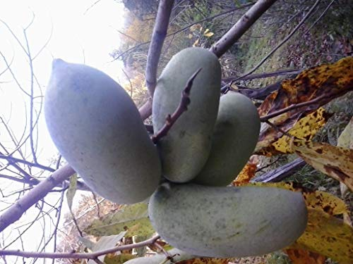 2 x Indianerbanane 40-120cm! 22 Vielfalt Asimina triloba gepfropft frosthart -25°C