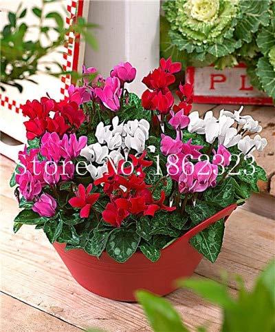 50 Stücke Alpenveilchen Blume, Indoor-Samen, mehrjährige blühende Samen Alpenveilchen Blumensamen für Balkon Garten: 11