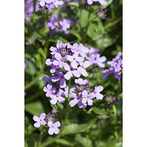Gewöhnliche Nachtviole, Hesperis matronalis, P 0,5