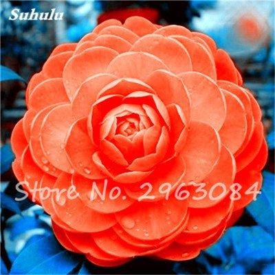 5 pièces rares Graines arc-en-Camellia fleurs, plantes en pot de bricolage, Lumière Parfumée intérieur Fleur, intérieur Bonsai planter des fleurs Semences 7