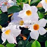 Seltene Pflanzen 50pcs Beutel Mandevilla sanderi Samen Schöne Blume Bonsai Pflanze DIY Hausgarten Seed Sehr Pflanzenset