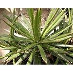 Agave ornithobroma seeds