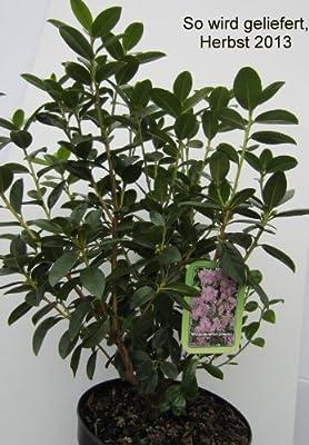Vorfrühlingsalpenrose violett-blau blühend. 1 Strauch im 3 Liter Topf - zu dem Artikel bekommen Sie gratis ein Paar Handschuhe für die Gartenarbeit dazu von Dominik Gartenparadies auf Du und dein Garten