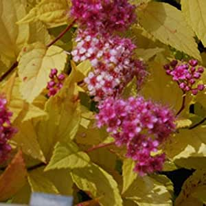 Spirea 'Golden Princess' Seeds