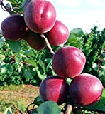 Pianta da frutto ALBERO DI ALBICOCCO ROSSO DI FUOCO A RADICE NUDA - 1 METRO pianta vera