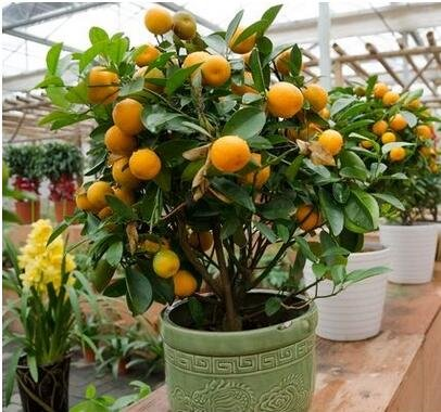 10pcs / lot Balcon Patio pot arbres fruitiers plantés Graines Kumquat Mandarine orange Citrus 2