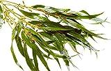Eukaliptusreisig für Sauna, 50 - 60cm