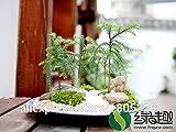 50Araucaria Samen Outdoor Pflanzen Erfrischende Bonsai Samen Blattwerk Pflanzen Baum Samen Shown In Desc lichtgrün