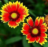 grünes Blatt ® 2000 Arten von Gaillardia, Nur Pollution-free insektizide Pflanzen Samen