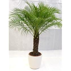 [Palmenlager] Phoenix roebelenii Zwergdattelpalme 160 cm/Stamm 40 cm/Zimmerpalme