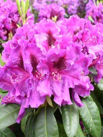 Inkarho-Alpenrose Einzelstand, Hecken- und Gruppenbepflanzung, Solitärpflanze, Kübelpflanze