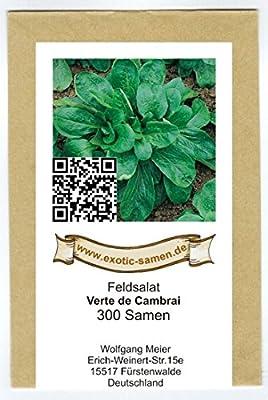 Feldsalat - Rapunzel - Verte de Cambrai - recht mehltaufest - Rosettenförmig - 300 Samen von exotic-samen auf Du und dein Garten
