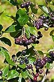 Palmenmann 3 x Vitaminbeere (Apfelbeere) Aronia-Mix - Aronia melanocarpa