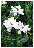 TROPICA - Gardenia di Tahiti (Gardenia jasminoides syn. Gardenia grandiflora) - 50 Semi- Magic tropical