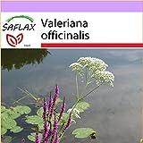 SAFLAX - Heilpflanzen - Baldrian - 200 Samen - Valeriana officinalis