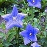 Campanule (Platycodon grandiflora bleu) vivace. Une bonne fleur coupée avec de fortes tiges. A la fin des tiges sont des bourgeons ballon bleu en forme qui s'ouvrent pour former des fleurs en forme d'étoile. Les jeunes feuilles peuvent être utilisées...