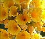 Sommerflieder Sungold 40-60cm - Buddleja weyeriana