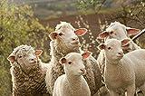 azutura Schaf & Lämmer Fototapete Lustige Bauernhof Tiere Tapete Küche Kinder Dekor Erhältlich in 8 Größen Extraklein Digital