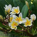 Rosepoem Semi di albero di fiore di Plumeria Frangipani freschi reali della pianta del giardino di Diy - 100pcs
