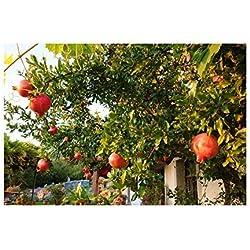 30x Türkische Riesen Granatapfel Punica Granatum Garten Obst Baum #352