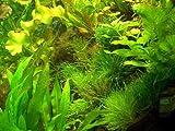 70 Aquariumpflanzen