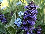 Blauer Günsel (Ajuga reptans) Teichpflanze Teichpflanzen Teich