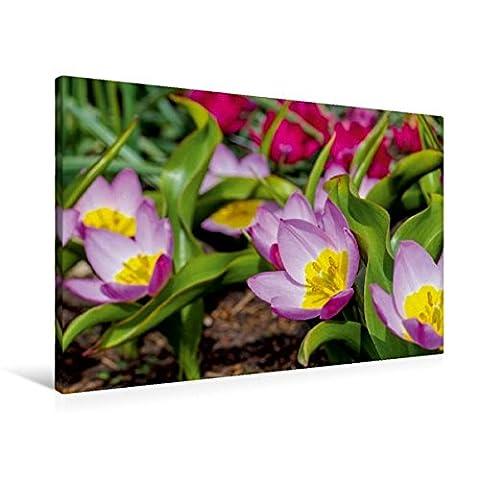 Premium Textil-Leinwand 90 cm x 60 cm quer, Tulipa Bakeri