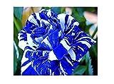 20x Blaue Drachen Rosen Samen Weiß Blau Pflanze Rarität Blume #112