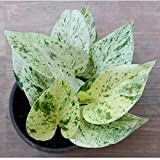 #6: Ugaoo Good Luck Money Plant Marble with Pot