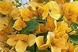 #3: Live Yellow Bougainvillea Plant In Pot